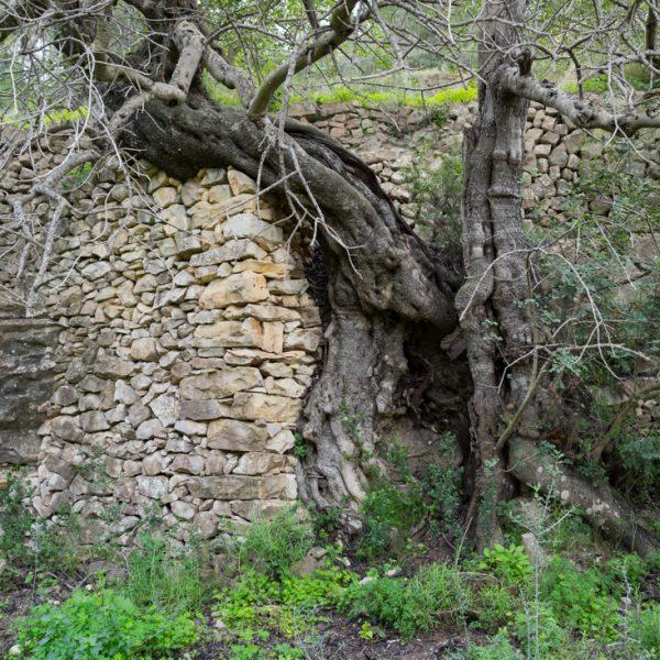 Baum in der Sierra de Pedramala bei Calpe