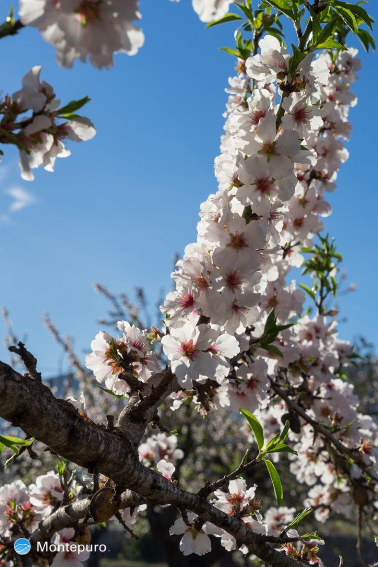 Mandelblüte in Jalón, im rosa Blütenmeer
