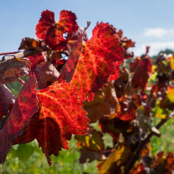 rotes Weinlaub bei Gata de Gorgos