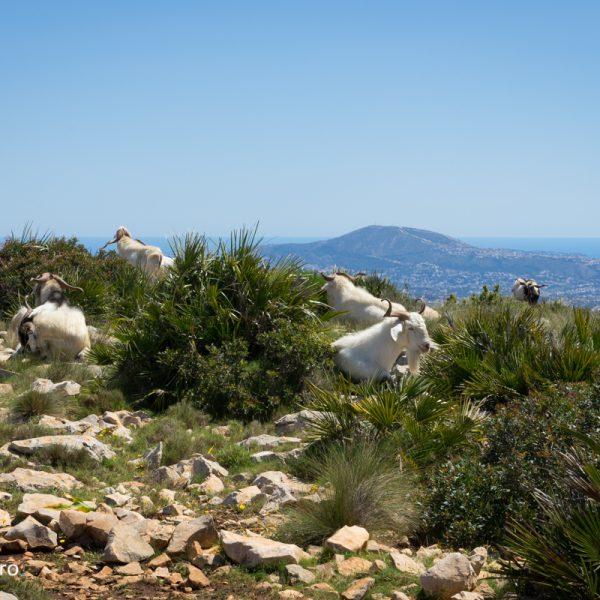 cabras montesas salvajes en la Sierra de Oltà