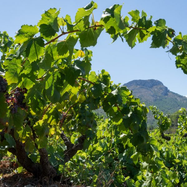 Weinfelder im Valle de Pop, Penya Talai