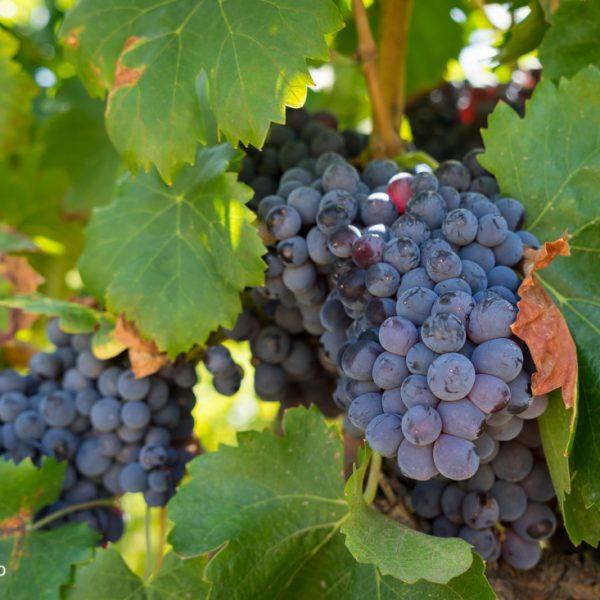 Weinreben im Valle de Pop bei Xaló