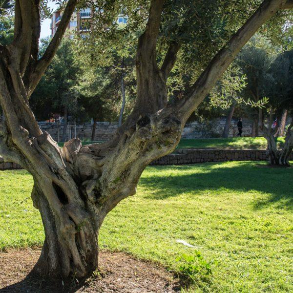 Olivenbaum im Naturpark Parque Natural del Turia, Valencia